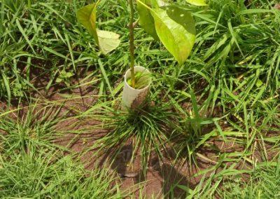 Guava tree start