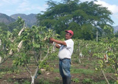IMI 2015 Guava Trees