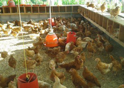 IMI 2016 600 Chickens 400 eggs per day